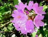 A pink Catawba Rhododendron bloom