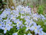 A collection of bluets in bloom