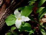 A large white Trillium in bloom