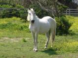 Photograph of Little Doc - Ocracoke Pony.