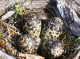 4 spotted eggs tucked into the grass and surrounded by driftwood.