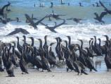 Cormorants during winter migration