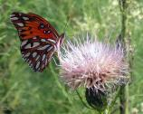 A Gulf Fritillary (Agraulis vanillae) on a thistle. An Atlanta resident from mid-summer to fall.