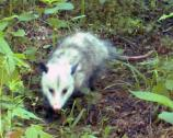 The Virginia Opossum (Didelphis virginiana) is nocturnal but can be active in the day during the winter.