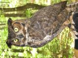 Great Horned Owl (Bubo virginianus) at Congaree NP.