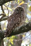 Barred Owl (Strix varia). Listen to the Barred Owls on an