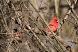 The Northern Cardinal (Cardinalis cardinalis) is the state bird of North Carolina