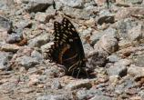 Palamedes Swallowtail (Papilio palamedes).