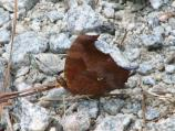 Question Mark (Polygonia interrogationis) - side view