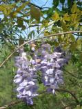 Chinese wisteria (Wisteria sinensis) is a non-native deciduous climbing vine found at Congaree National Park.