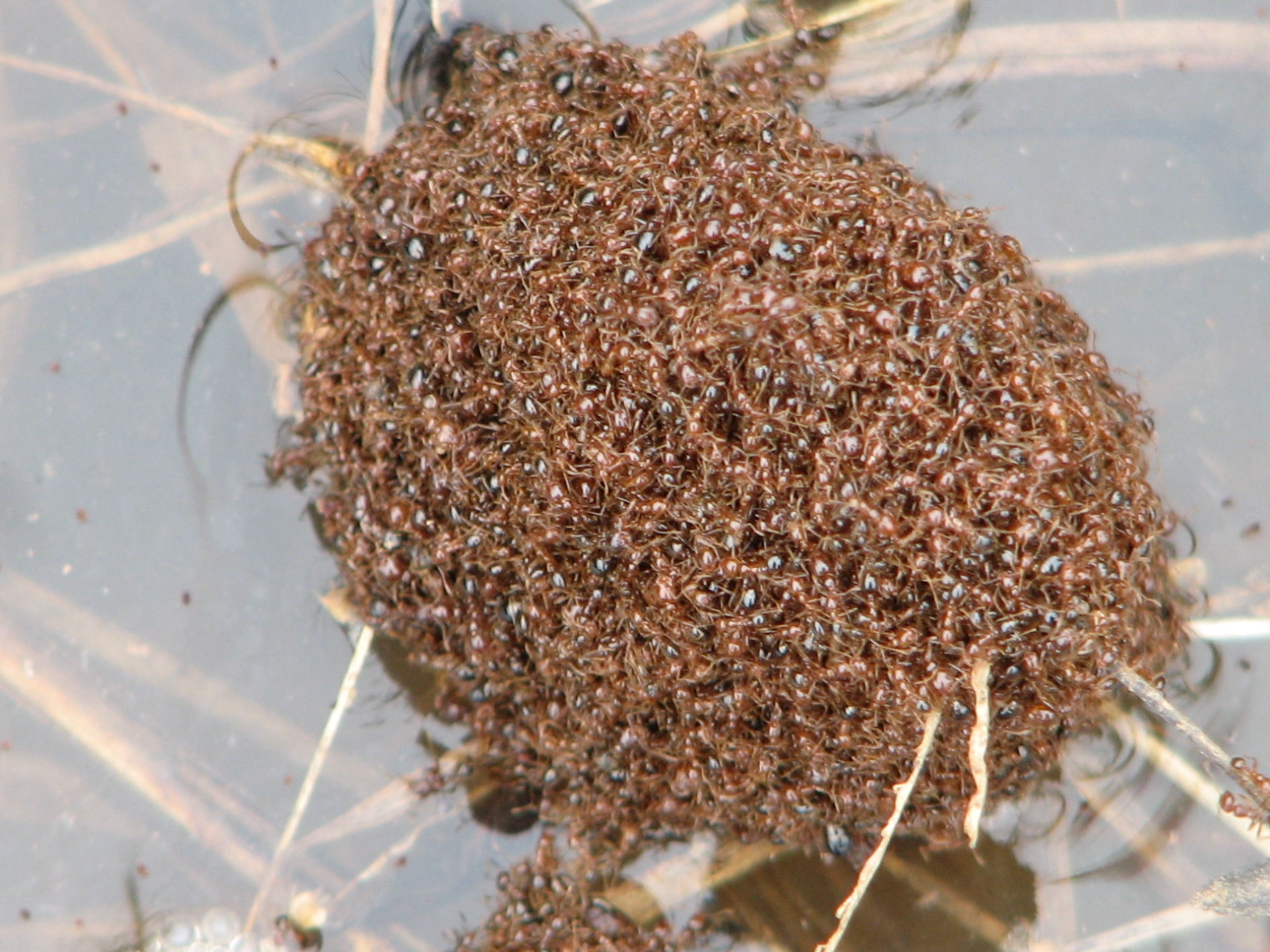 invasive species red imported fire ants essay Other articles where red imported fire ant is  the red or yellowish ants are one to five millimetres in length and can  invasive species in invasive .