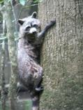 Ringtail Racoon (Procyon lotor)