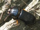 Horned Passalus Beetle (Odontotaenius disjunctus). Larvae and adults live in colonies in logs. They feed on rotting wood.
