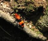 Velvet Ant or Cowkiller (Dasymutilla occidentalis) - female. This is actually a wasp, not an ant. The bright colors warn to stay away - this insect has a painful sting!