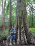 Bald Cypress Tree