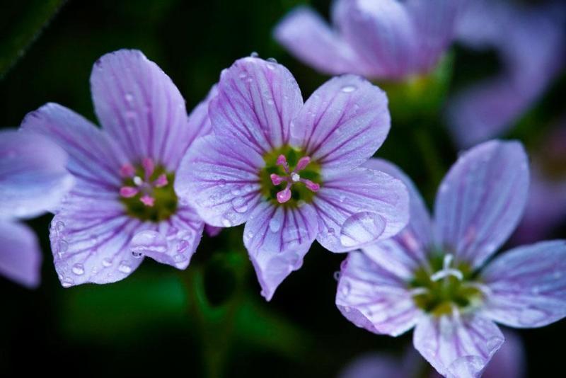Alaska Spring Beauty