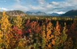 a forest turned gold, red and orange with fall colors, distant mountains under clouds