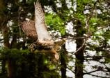 owl flying among spruce trees