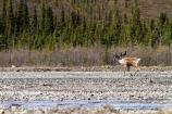 caribou walking along a river, trees in background