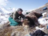 person kneeling by a tranquilized bear, on a hillside