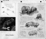 Sketches of bears digging and pursuing both dall sheep and arctic ground squirrels