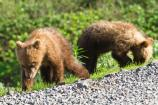 Springer Grizzly Cubs