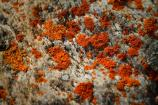 tiny, orange-colored lichen growing on a boulder