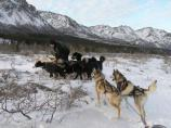 a musher leads a team of dogs to turn around