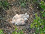 bird chicks in a ground nest