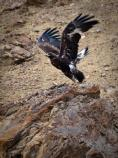 a brown eagle taking off from a rock