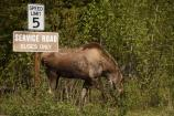 a moose standing by a road sign that reads service road 5 miles per hour