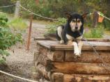a black and tan sled dog sitting on a large doghouse