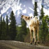 a caribou standing on a dirt road