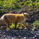 a red fox walking along a dirt road