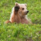 a bear cub laying on its back, waving a paw in the air
