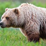 profile view of a grizzly bear, displaying its trademark shoulder hump