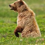 a grizzly bear standing on its hind legs