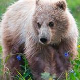 a grizzly bear cub standing next to blue flowers
