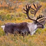 caribou with impressive antlers