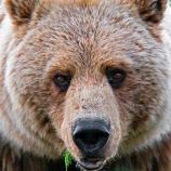 A closeup of a grizzly bear face