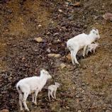 two adult sheep and two lambs on a rocky mountainside