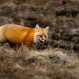 a red colored fox