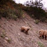 two grizzly bears walking down a rocky slope
