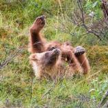 a grizzly cub on its back, paws in the air