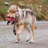 a wolf carrying a caribou leg in its mouth