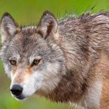 closeup of a wolf
