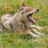 a wolf yawns while lying down