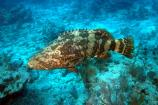Side view of an Atlantic goliath grouper hovering near the bottom in Dry Tortugas National Park.