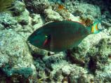 Stoplight parrotfish change color during their life span but are named for the yellow spot near the tail, which is only present during the terminal phase.