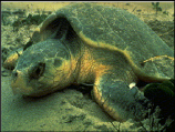 Glimpse of a protected sea turtle on the beach at Dry tortugas National Park